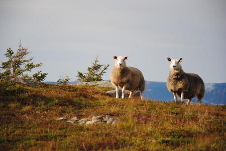 Sau på fjellbeite på Hundbergslia i Øyer.