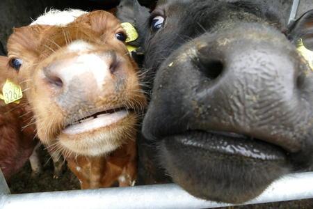 Nysgjerrige kyr.