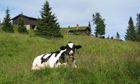 Utendørs mosjon er en faktor for god dyrevelferd hos kyr. Her fra Wasrudsetra på Tretten, Oppland. Foto: Jørgen Skaug.