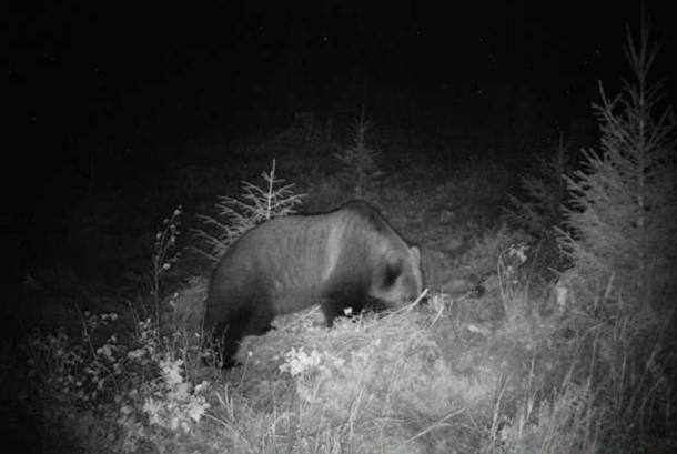 Bjørn ved viltkamera 2017