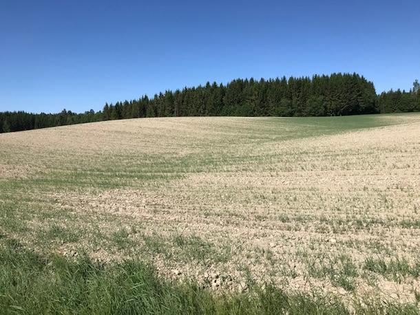 Tørkeskadd åker i Akershus