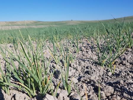 Kornet tørker bort på Romerike.