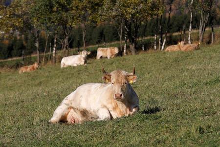 Kjøttfe på beite i Nord-Tretten