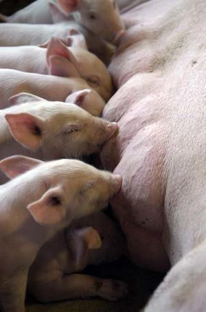 Fornøyde grisunger