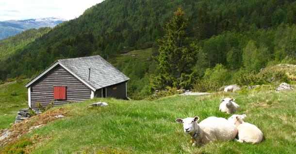 Endringer i tollberegningen gir grunnlag for flere sauer og lam som beiter i utmarka.