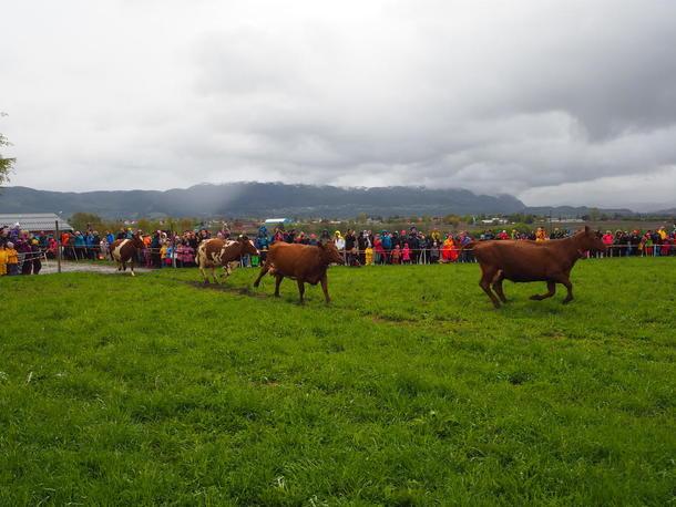Kyr i fullt firsprang ut til grønt gras på Skjetlein