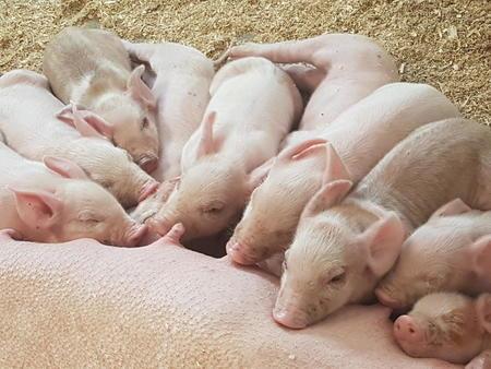 Landbrukspodden dyrevelferd og svin