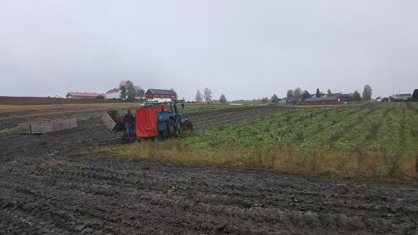 Høsting av kålrot under våte og klinete forhold.