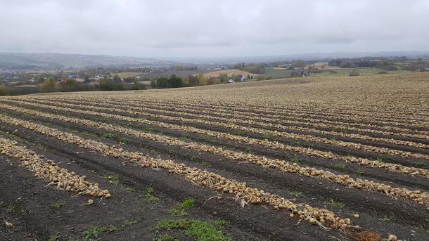 Løken ligger og venter på opptørking før de er høsteklare.