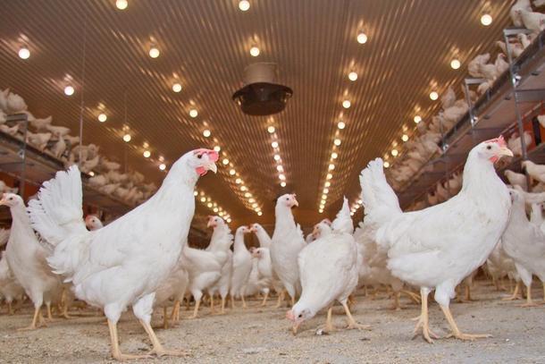 Fjørfebønder er blant dem som opplever at prisen på fôr har skutt i været de siste månedene. Nå ber Bondelaget om en kompensasjon og en koronapakke. Foto: Norsk Fjørfelag.