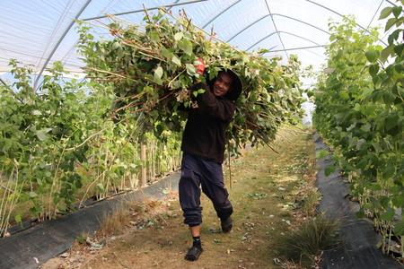 Tynning av bringebær. Fruktproduksjon har mange utenlandske arbeidere.
