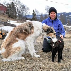 Simona og gardshunden passer godt på lammet som er forlatt av mor si.