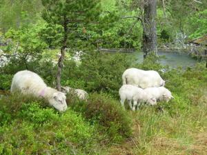 Totalt i regionen sendes det årlig ca 290.000 sau og lam på beite