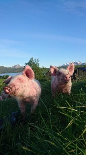 Gris på Engeløya