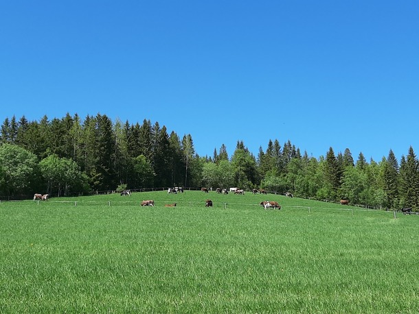 Kyr på beite. Foto: Hølonda Bondelag