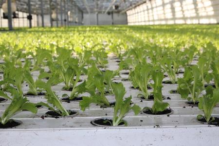 Grønnsaksproduksjon i veksthus er allerede i gang. Dette er en av grenene i norsk matproduksjon som ansetter utenlandsk arbeidskraft. Her er arkivbilde av salat i veksthus.