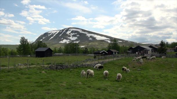 Sau på beite ved Storfjællsetra på Ringebufjellet. Foto: Sigurd Fossen/Sølvrev